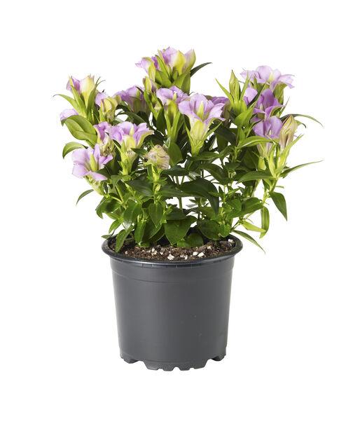 Klasegentiana, blå