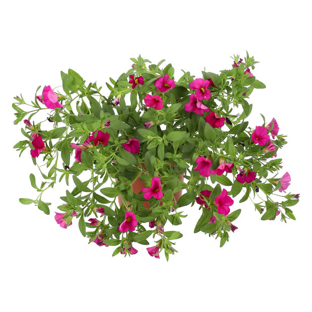 Småpetunia, Ø12 cm, Rosa
