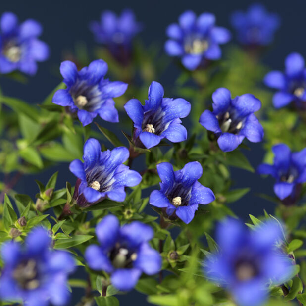 Klasegentiana 'Blue Heart', Höjd 20 cm, Blå
