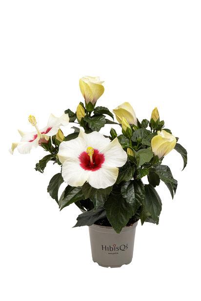Hibiskus, Höjd 25 cm, Vit
