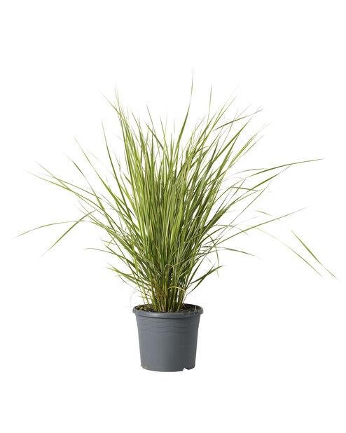 Prydnadsgräs, Ø17 cm, Brun