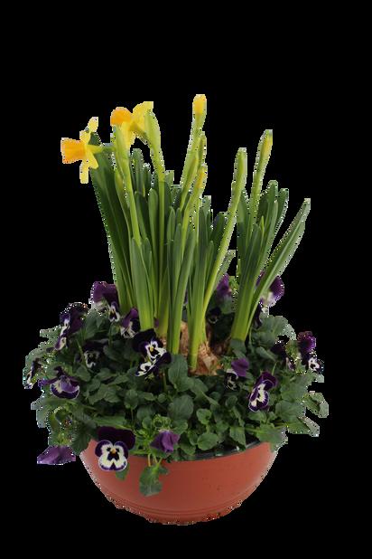 Penséer och påsklilja i skål, Ø23 cm, Flerfärgad