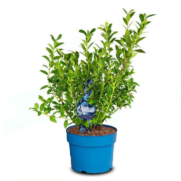 Hybridblåbär ´Sweet Juicy Beats´, Ø23 cm, Grön