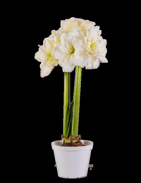 Amaryllis 'Alfresco' 2-stänglad, Ø13 cm, Vit