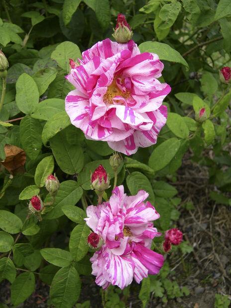 Polkagrisros 'Rosa Mundi', Höjd 25 cm, Flerfärgad