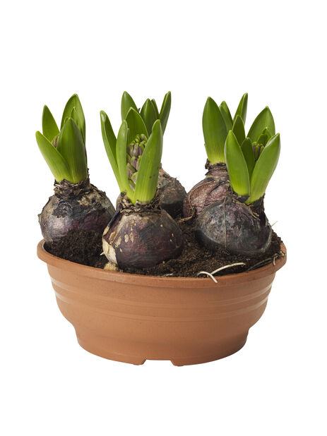 Hyacint 16 cm
