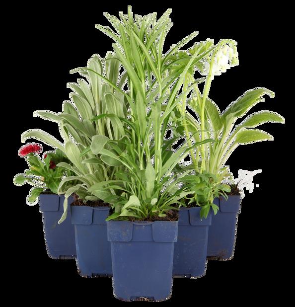 Stockros 'Pleniflora', Höjd 15 cm, Vit