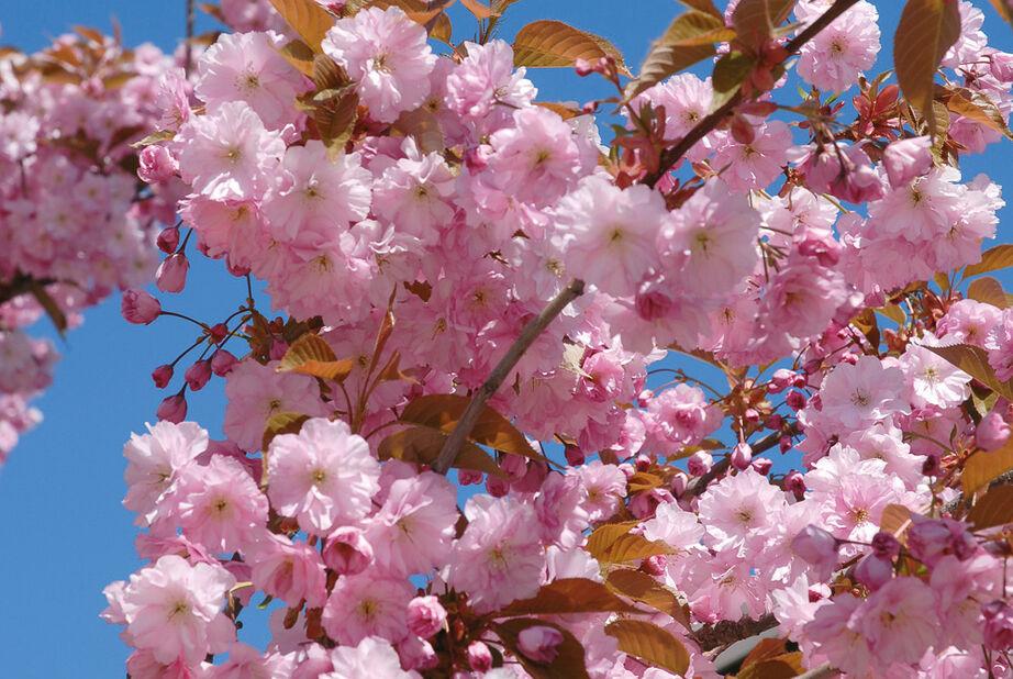 Japanskt prydnadskörsbär 'Kanzan', Höjd 125 cm, Rosa