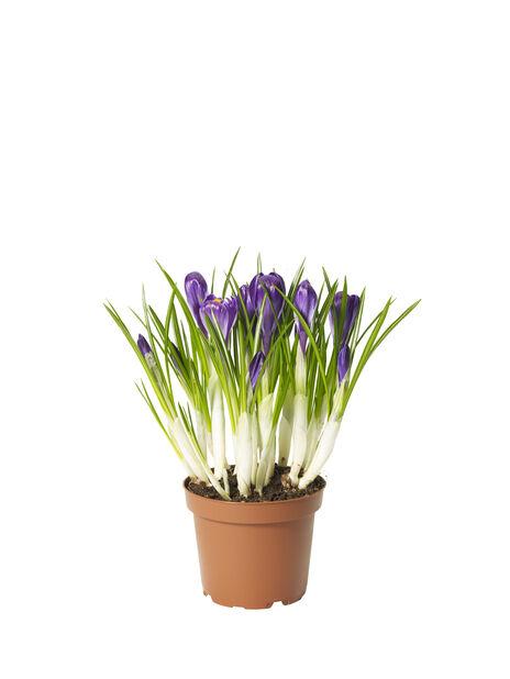 Krokus 'Flower Record', Ø12 cm, Lila