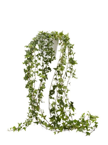 Murgröna långa rankor