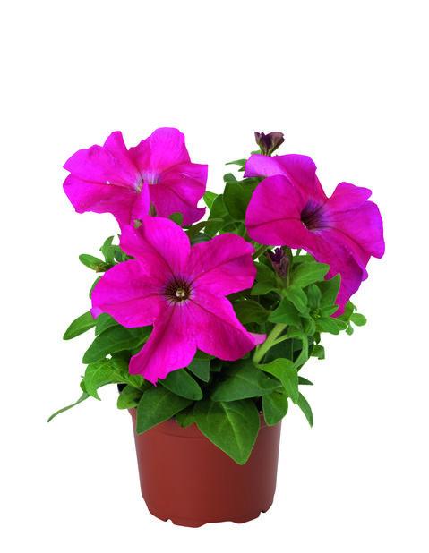 Petunia, Ø11 cm, Flera färger