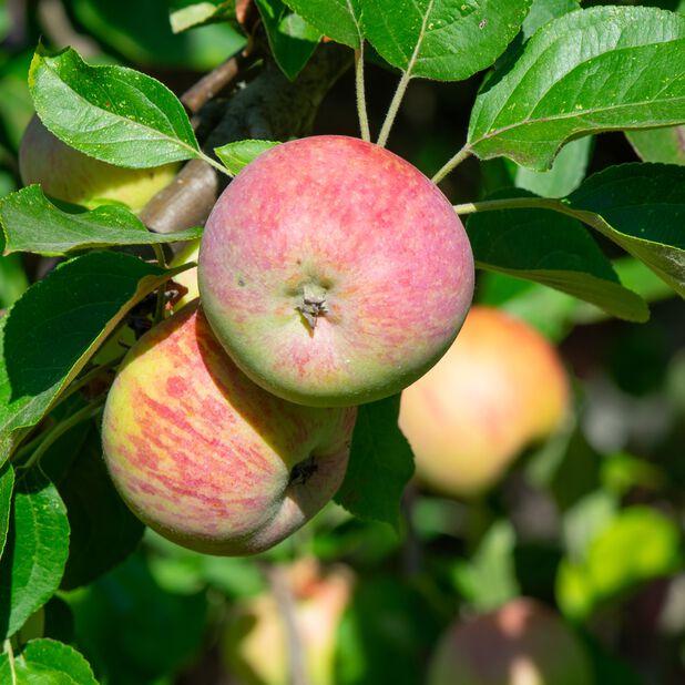 Äpple 'Gravensteiner' , Höjd 180 cm, Röd