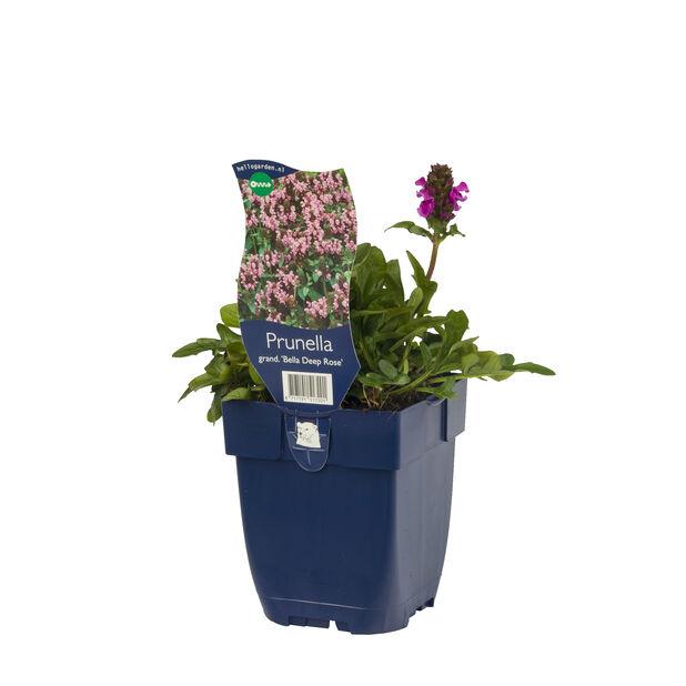 Praktbrunört 'Bella Deep Rose', Ø11 cm, Rosa