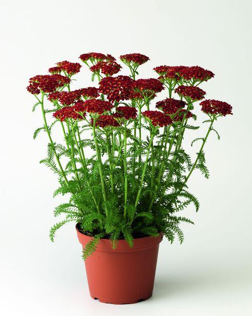 Röllika 'Desred', Ø11 cm, Röd