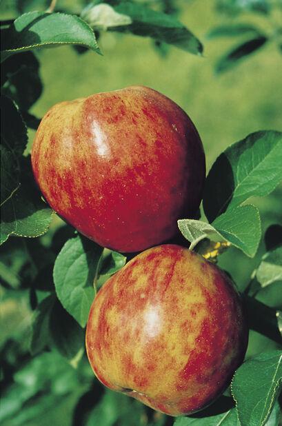 Äpple 'Sävstaholm', Höjd 150 cm, Röd