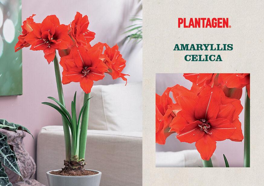 Amaryllis 'Celica', Flerfärgad