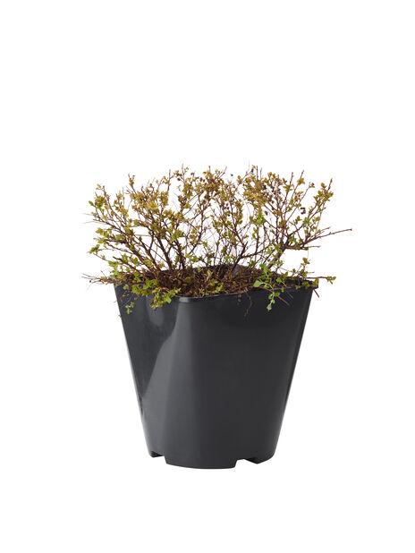 Höstspirea 'Albiflora' , Höjd 30 cm, Vit