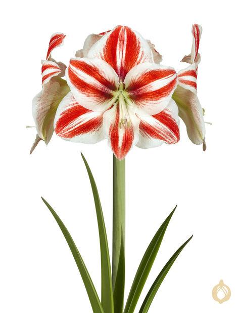 Amaryllis special 2-stänglad, Ø13 cm, Flera färger