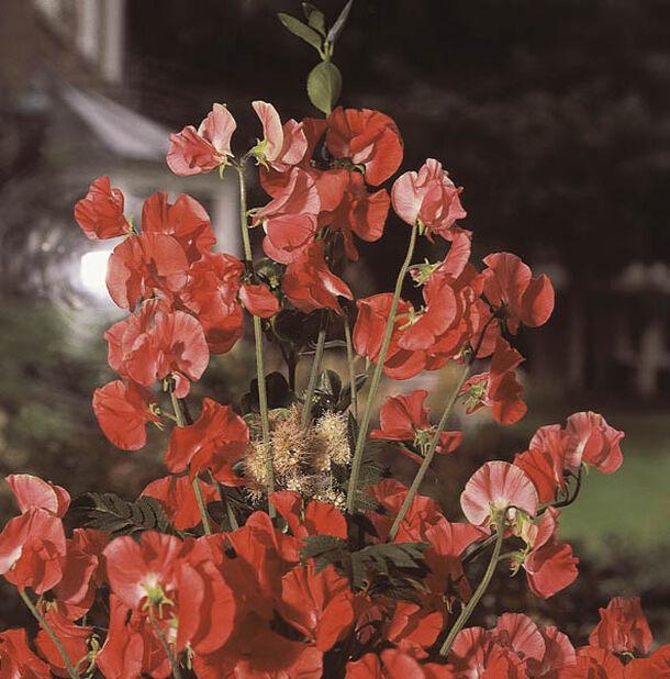Rosenvial 'Red Pearl', Ø11 cm, Rosa