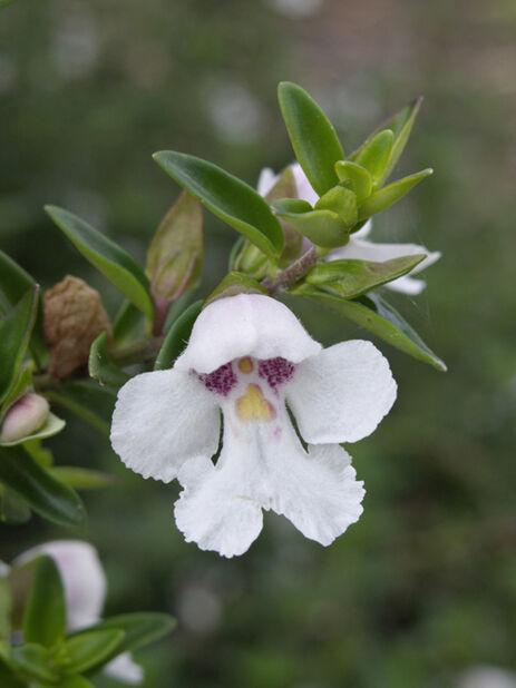 Snömintbuske, Höjd 20-30 cm, Vit