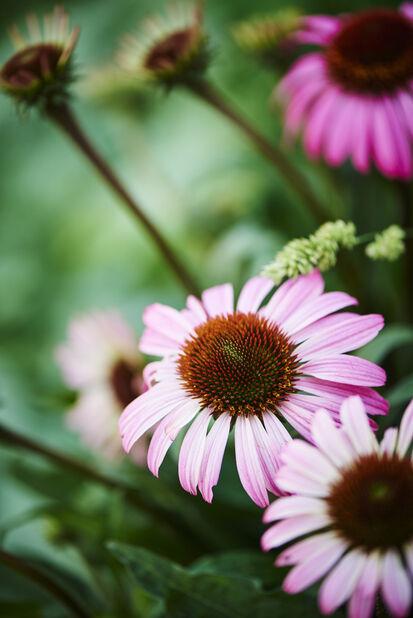 Solhatt, rosa, Höjd 45 cm, Rosa
