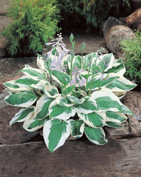 Blomsterfunkia 'Patriot', Höjd 15 cm, Grön