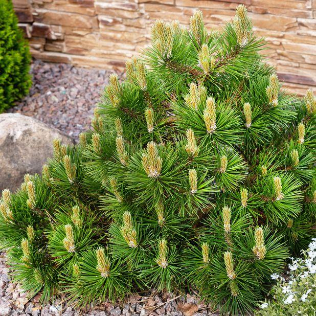 Bergtall, Ø23 cm, Grön