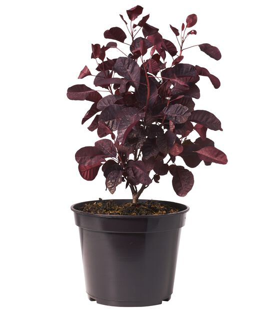 Rödbladig perukbuske 'Royal Purple' , Ø22 cm, Röd