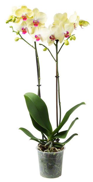 Brudorkidé 18+ blommor