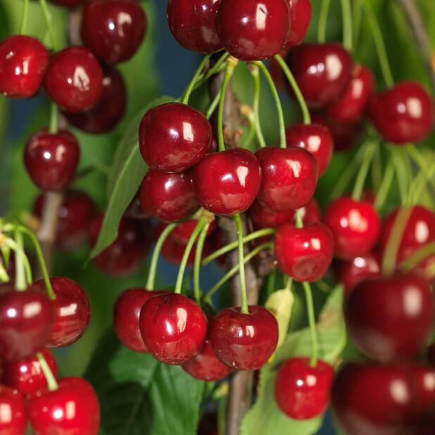 Sötkörsbär 'Regina', Höjd 160 cm, Röd