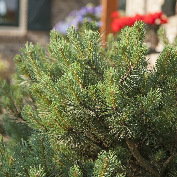 Dvärgtall 'Watereri', Ø32 cm, Grön