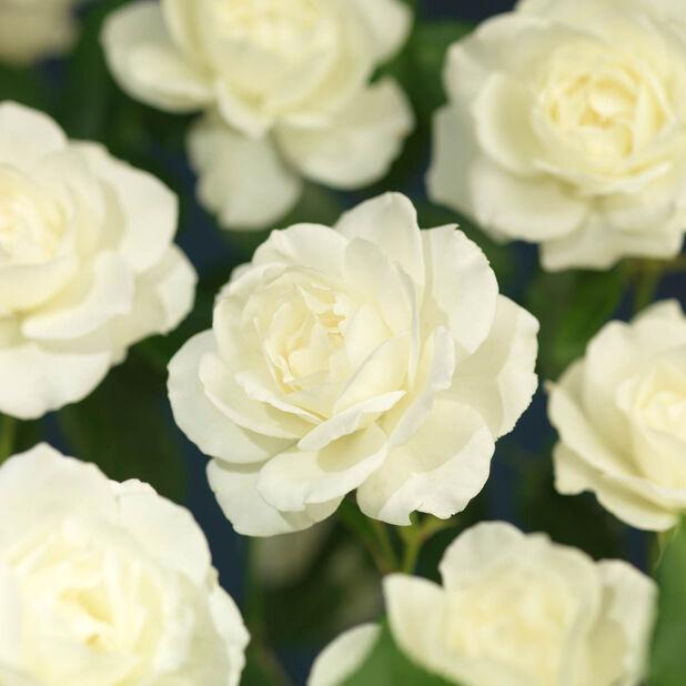 Klasblommig ros 'Schneewittchen', Ø19 cm, Vit