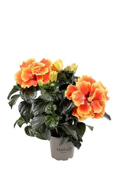 Hibiskus 'Apollo', Höjd 25 cm, Orange
