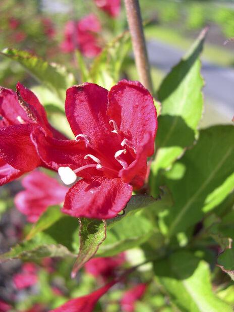 Weigela florida 'Red Prince' 5L