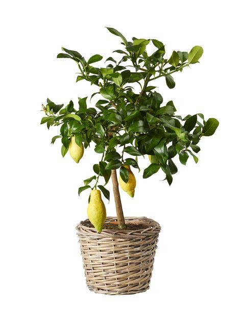Citron på stam, Ø21 cm, Gul