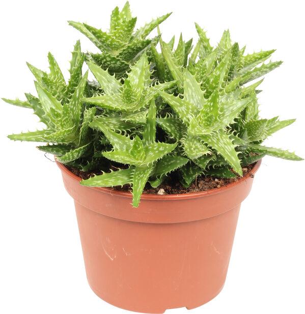 Aloe, Höjd 25 cm, Grön