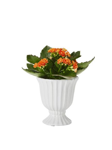 Kalanchoe, Höjd 10 cm, Orange