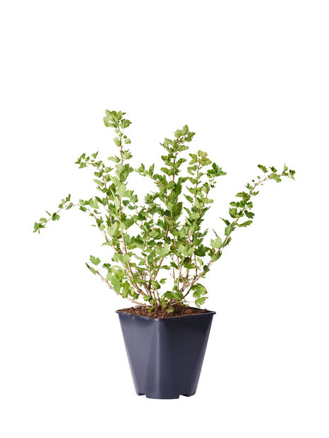 Krusbär 'Invicta', Höjd 35 cm, Grön