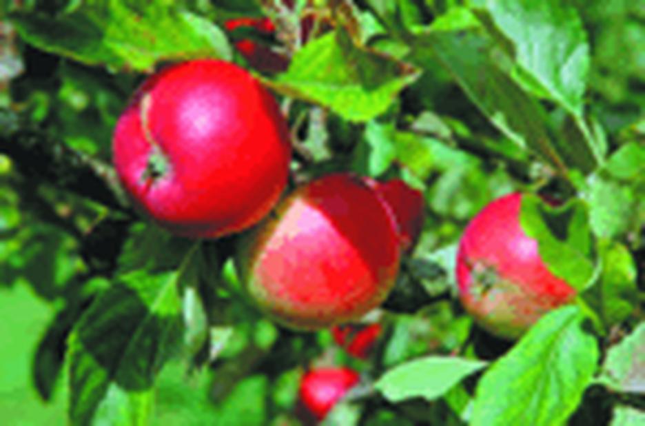 Äpple 'Katja' 5L