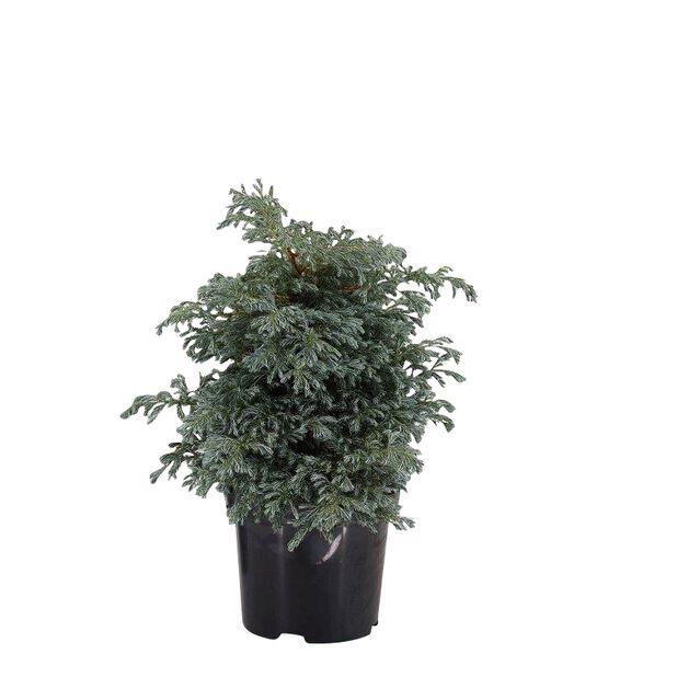 Ärtcypress 'Bolevard', Höjd 30 cm, Blå
