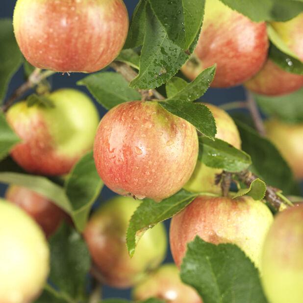 Äpple 'Agnes', Höjd 150 cm, Röd