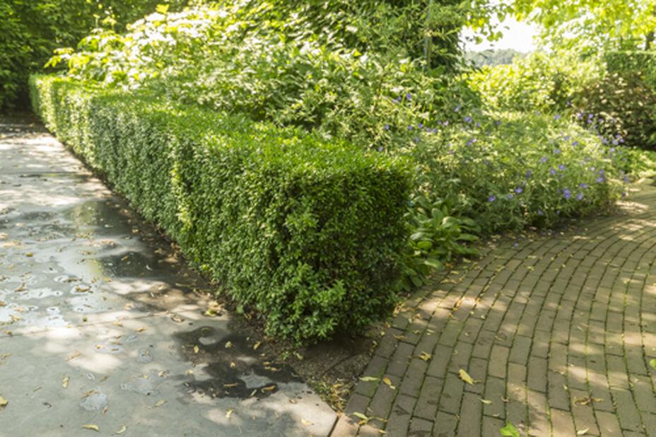 Trädbuxbom 'Arborescens', Höjd 25 cm, Grön