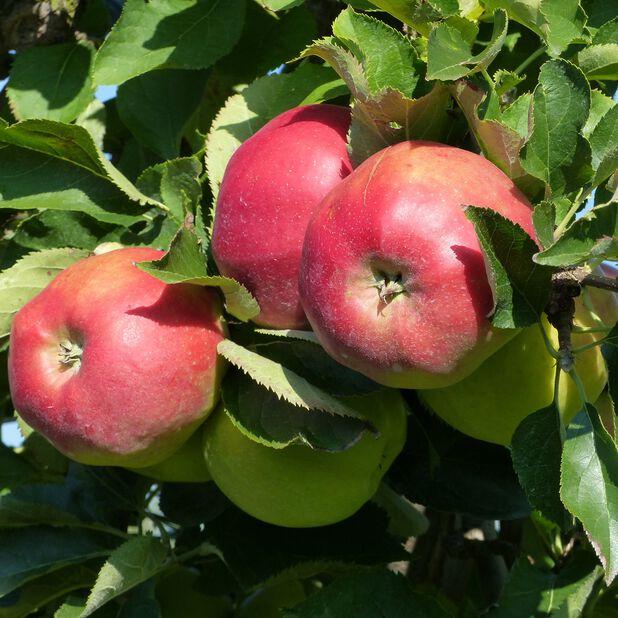 Äpple 'Jonagold' , Höjd 160 cm, Röd