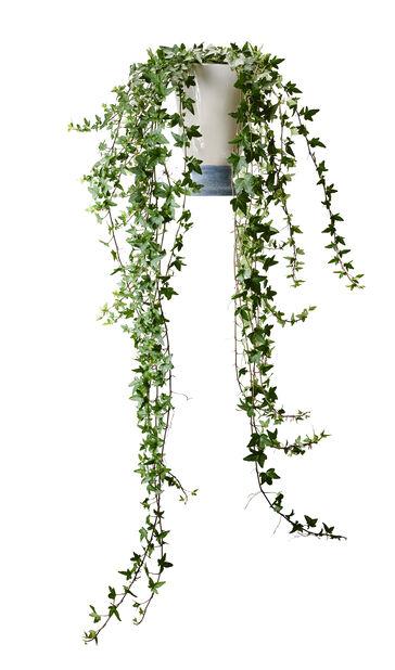Murgröna långa rankor, Höjd 80 cm, Grön