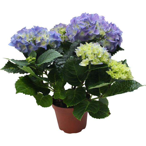 Hortensia , Höjd 35 cm, Blå