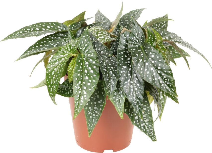 Begonia 'Hotspot', Höjd 35 cm, Grön