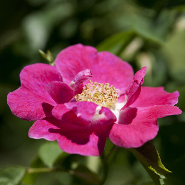 Klasblommig ros 'Bee Friendly', Höjd 20 cm, Rosa