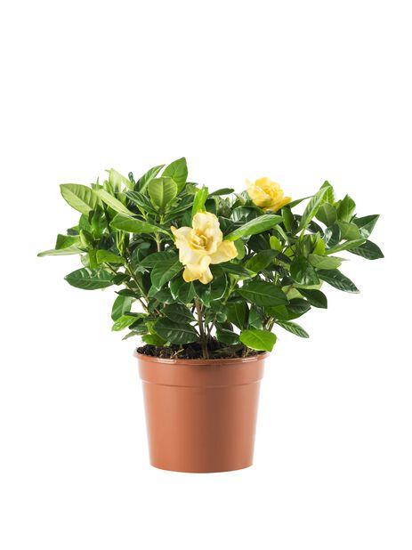 Gardenia, Höjd 30 cm, Vit