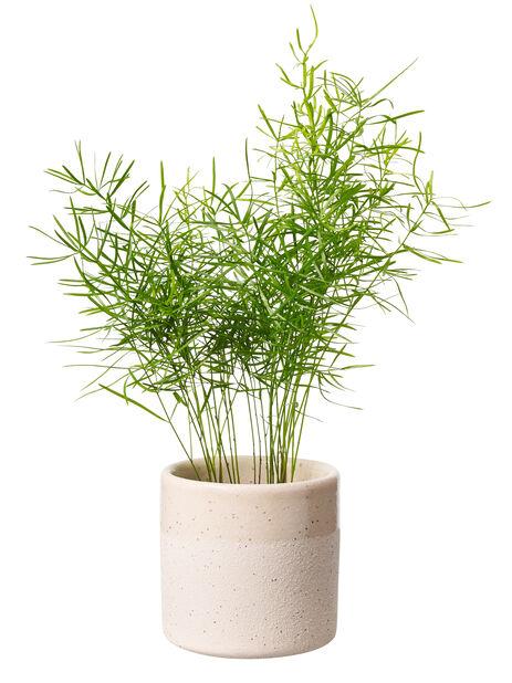 Grönväxt mini , Höjd 7 cm, Grön