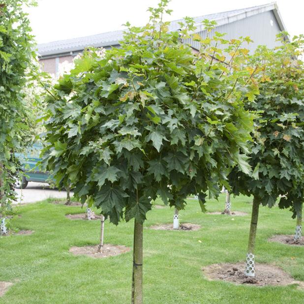 Klotlönn 'Globosum', Höjd 140 cm, Grön